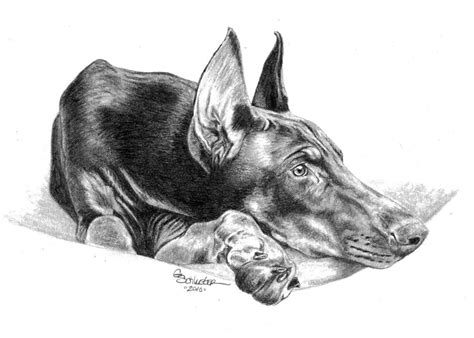 the doberman drawing by genevieve schlueter