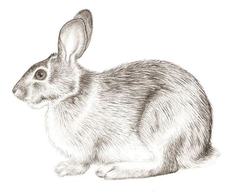how to a rabbit how to draw realistic rabbit