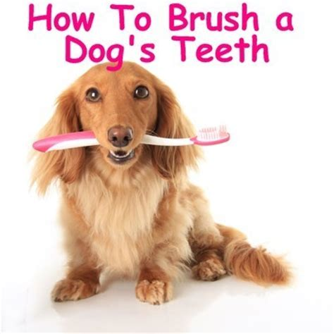 how to brush dogs teeth today show great gatsby fashion ideas how to brush your