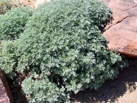 silver sage silver sage the power of plants
