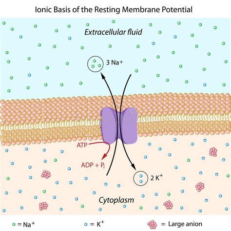 resting membrane potential stock vector illustration