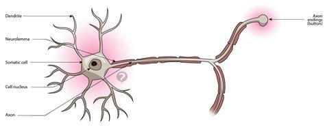 motor neuron definition neuron definition