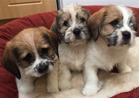 beagle and shih tzu shih tzu beagle cross bea tzu abertillery blaenau gwent pets4homes