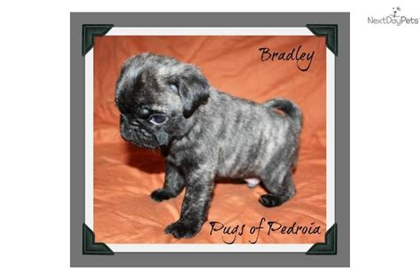 pug puppies sacramento pug puppy for sale near sacramento california 126a948c 8851