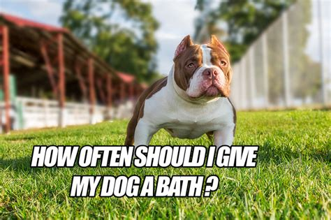 how often should you give your a bath how often should i give my a bath bully 174