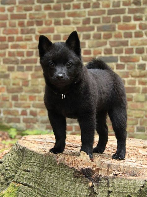 schipperke puppies 17 best images about sweet schipperkes on ash ephemera and