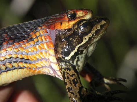 Garter Snake Frog Just The One Road