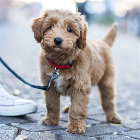 25 Best Ideas About Golden Doodle On