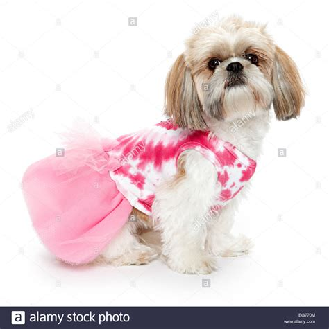 clothes for shih tzu shitsu shih tzu in pink clothes stock photo royalty free image 27204036