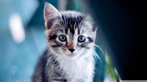 kedi temali  adet duvar kagidi  teknobeyin