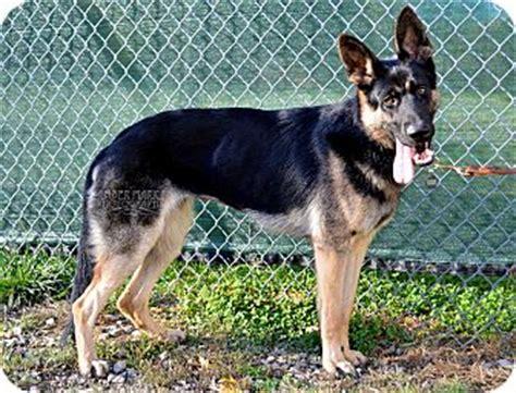 german shepherd puppies indianapolis indiana german shepherd breeders decksscom breeds picture