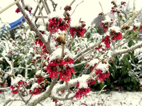 Blühende Sträucher Im Winter 1519 by Zaubernu 223 Bl 252 Ten Im Winter Meine Gartengestaltung