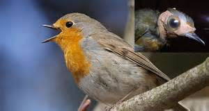 robins can literally see magnetic fields but only if