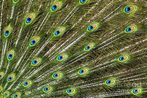 Indian Home Decor Online by Peacock Feather Abstract Pattern Photograph By Darleen Stry