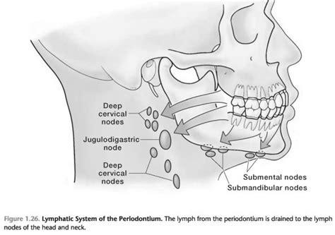 lymphatic system   periodontium foundations