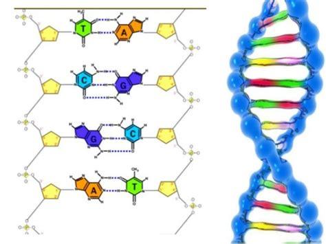 cadenas adn y arn qu 233 es el adn y arn estructura definici 243 n de significado