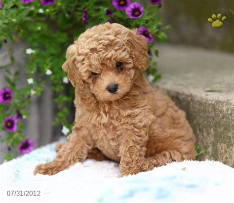 poodle puppies for sale poodle puppies for sale picture breeds picture