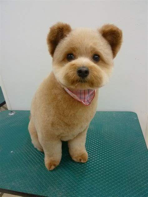 face haircuts for shichon 37 best dog grooming cute teddy bear heads images on