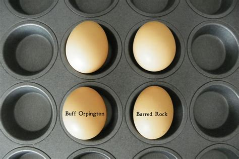 barred rock egg color egg count downeast thunder farm