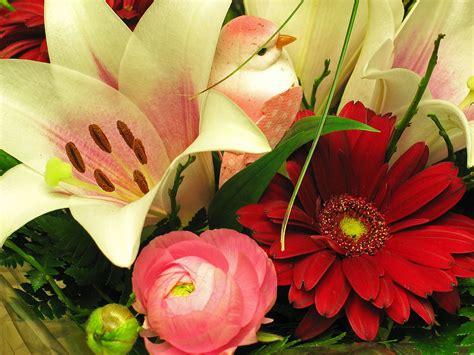 significato fiori gerbera le gerbere il significato come coltivare e curarle