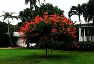 Landscaping In Florida by Photo Of The Entire Plant Of Pride Of Barbados