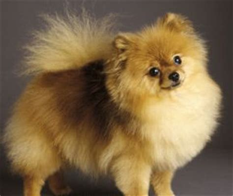 how to potty your pomeranian puppy pomeranian puppy tips the pets central