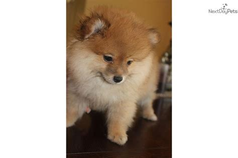 pocket pomeranian for sale meet pocket pom a pomeranian puppy for sale for 700 pocket pom