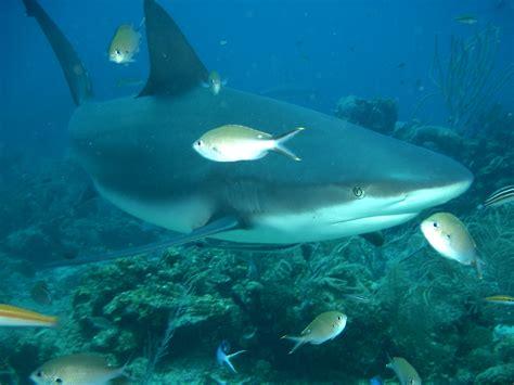 baby shark weight zagrożone życie oceanu szary rekin rafowy