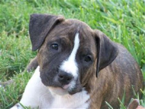 blue american staffordshire terrier puppies for sale american staffordshire terrier puppies for sale