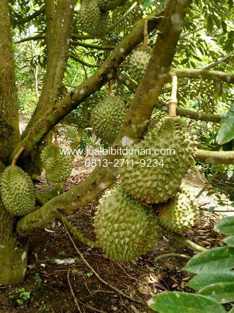 Bibit Durian Bawor Asli bibit durian musang king archives bibit durian montong