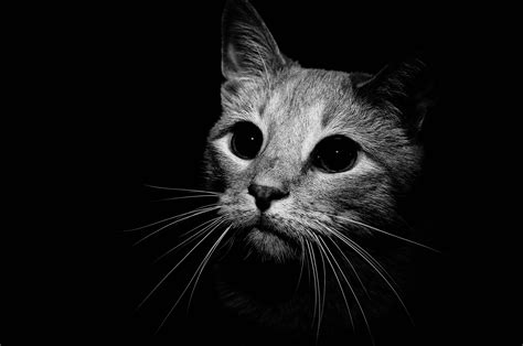 Wallpaper Cat Black And White | black and white cat wallpapers wallpaper cave