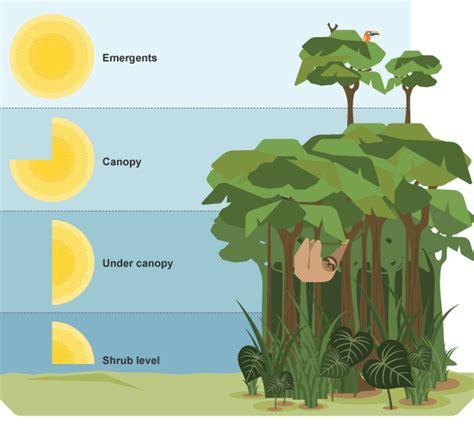 rainforest diagram image result for rainforest layers diagram curious our