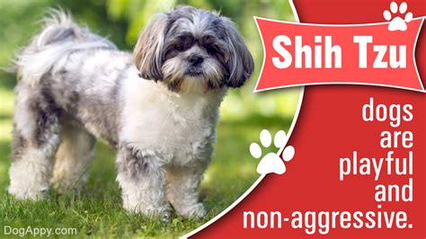 shih tzu how much they cost how much do the beautiful and shih tzu puppies cost