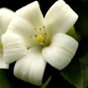 what is a state flower state flowers idaho s state flower is the mock orange