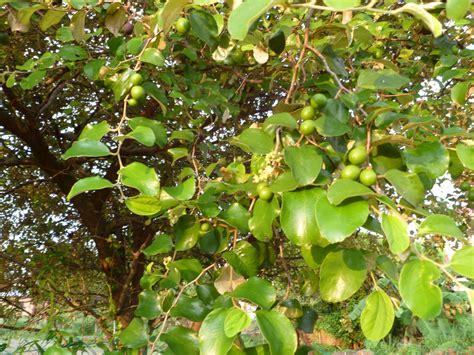 Herbal Daun Bidara Pohon Bidara Besar Terapi Herbal Daun Bidara Sabun