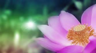 Lotus Flower High High Quality Lotus Flower Wallpaper Hd Pictures