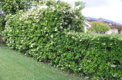 waxleaf privet hedge