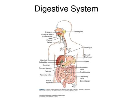 drawing systems draw the digestive system and label the parts digestive