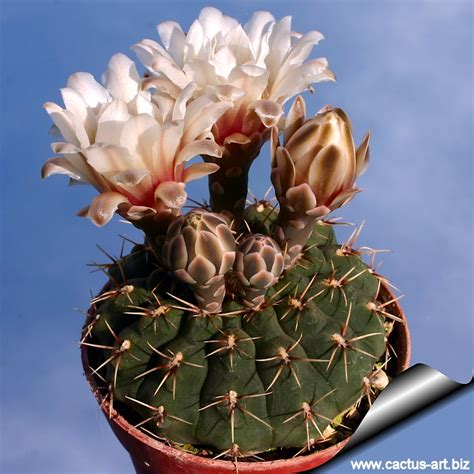 Blue And Brown Nursery by Gymnocalycium Platense