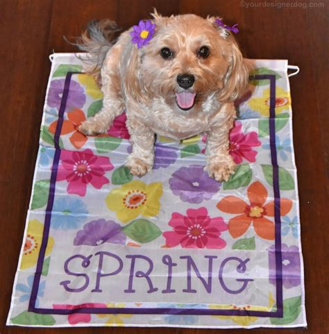 yorkie poo puppies knoxville tn yorkie poo garden flags garden ftempo