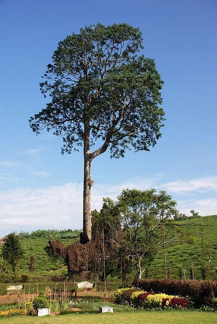 mahogany tree trees  plant  trees mahogany brown
