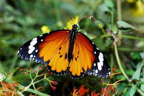 tigre y mariposa imagenes otra vista de la mariposa tigre
