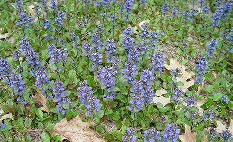 ajuga reptans carpet bugle go botany
