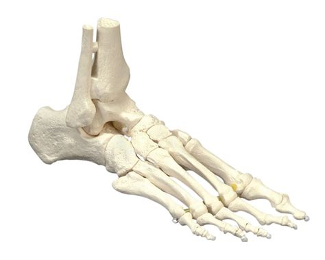 %name Anatomy Coloring Book   ankle bones diagram coloring pages