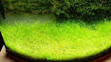Aquarium Tv 21 Air Tawar java moss update