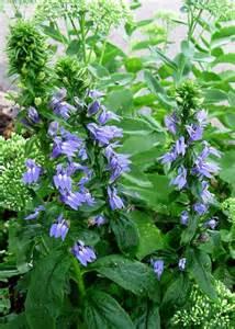 plantfiles pictures lobelia species great blue lobelia