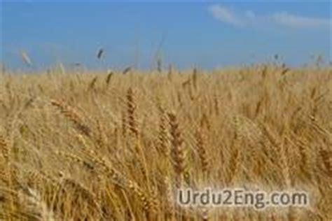 whole grains urdu meaning wheat urdu meaning