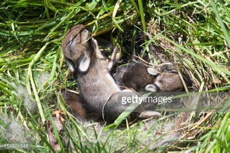 Baby Nest Bunny Blue baby bunny nest stock photo getty images