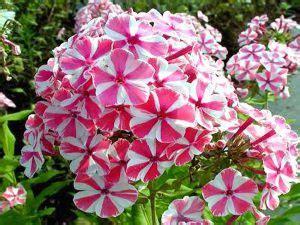 fiori perenni per bordure piante perenni 32 variet 224 per bordura giardino balcone