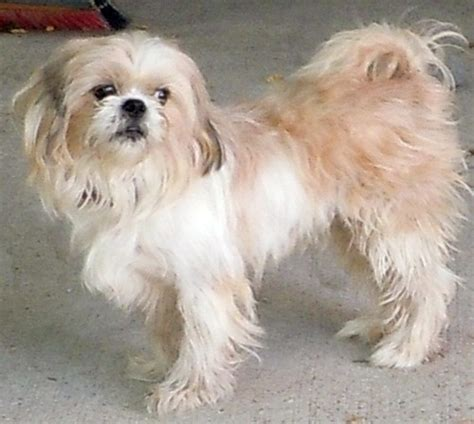 labrador shih tzu mix pedro shih tzu humane society of dallas county